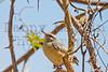 Long-billed Crombec<br /> Kruger National Park, South Africa
