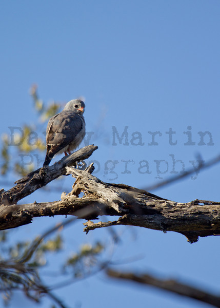 Lizard Buzzard<br /> Kruger National Park, South Africa