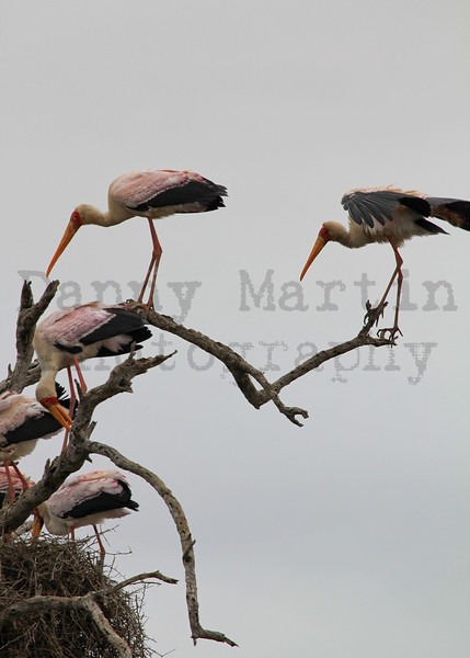 Yellow-billed Stork<br /> Kruger National Park, South Africa