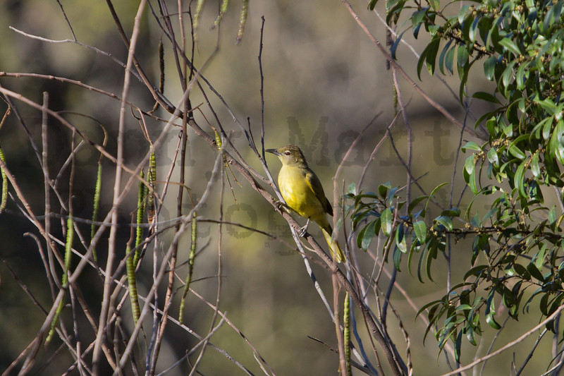 Yellow-bellied Greenbul<br /> Kruger National Park, South Africa