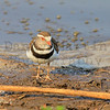 Three-banded Plover<br /> Kruger National Park, South Africa