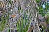 Brown-crowned Tchagra<br /> Kruger National Park, South Africa