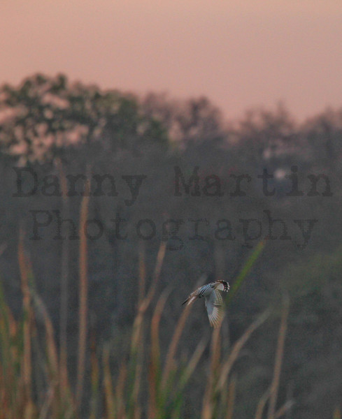 Striped Kingfisher in flight<br /> Kruger National Park, South Africa
