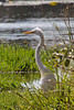 Great Egret (Great White Heron)<br /> Kruger National Park, South Africa