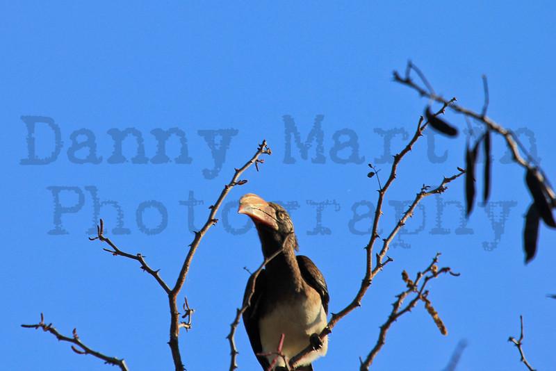 Crowned Hornbill<br /> Kruger National Park, South Africa