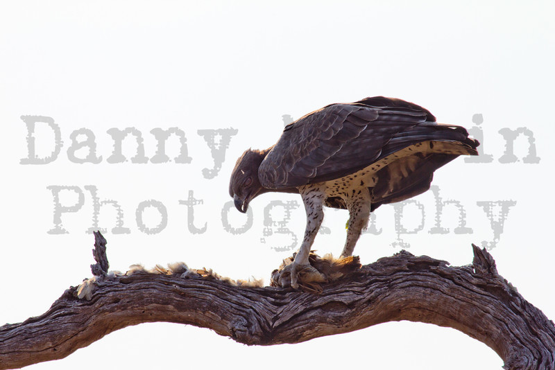 Martial Eagle (feeding on Francolin)<br /> Kruger National Park, South Africa