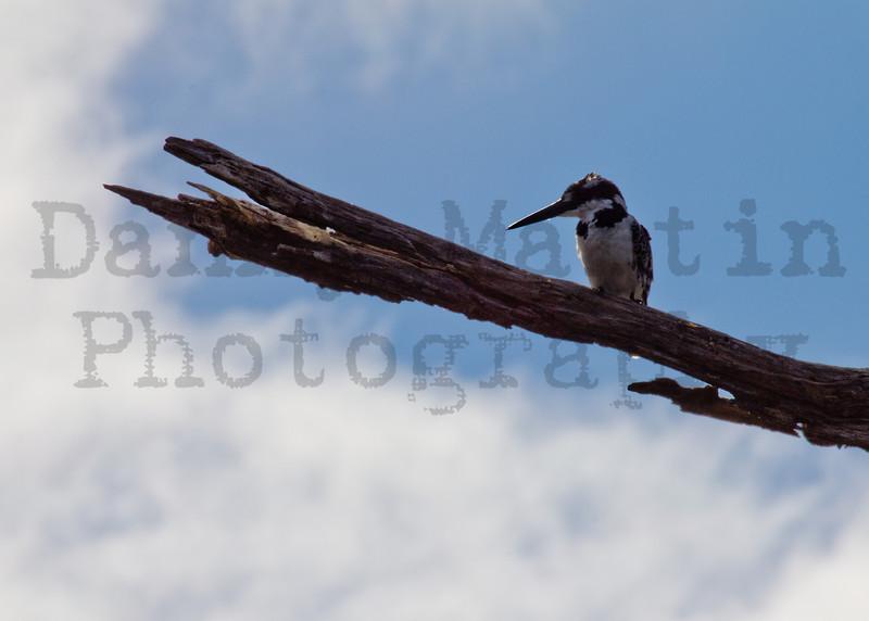 Pied Kingfisher<br /> Kruger National Park, South Africa