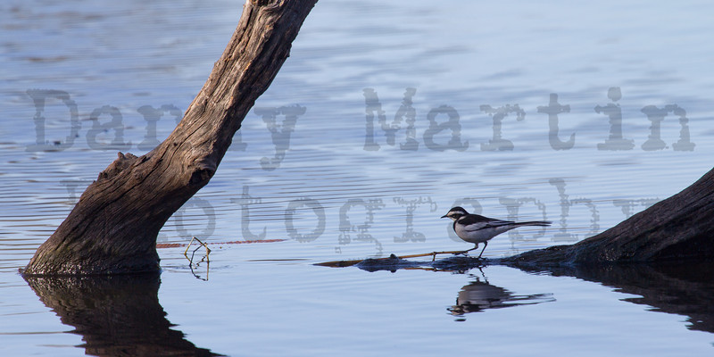 African Pied Wagtail<br /> Kruger National Park, South Africa