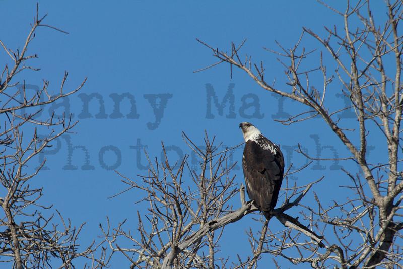 African Fish Eagle<br /> Kruger National Park, South Africa