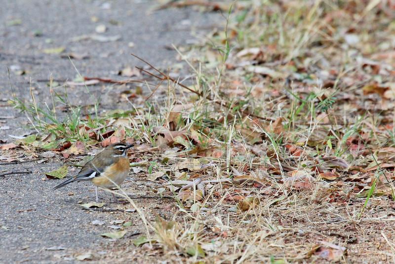 Bearded Scrub-robin<br /> Kruger National Park, South Africa