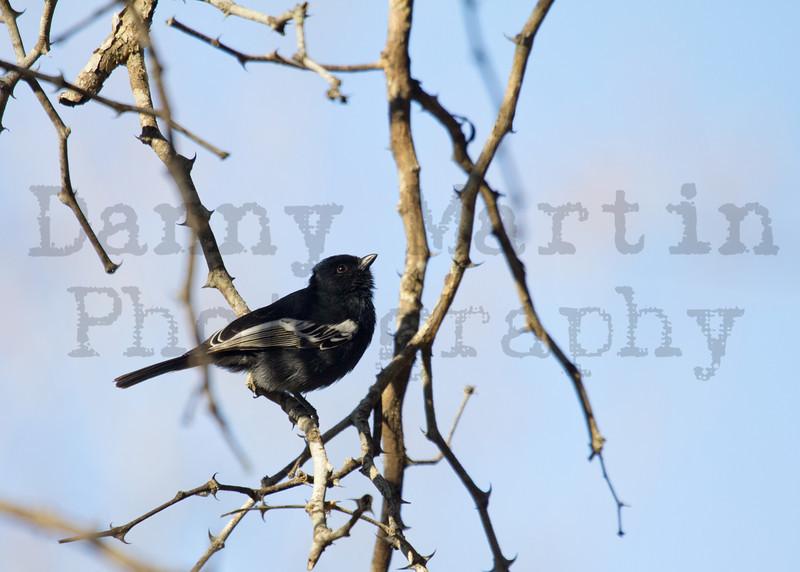 Southern Black Tit<br /> Kruger National Park, South Africa
