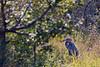 Goliath Heron<br /> Kruger National Park, South Africa