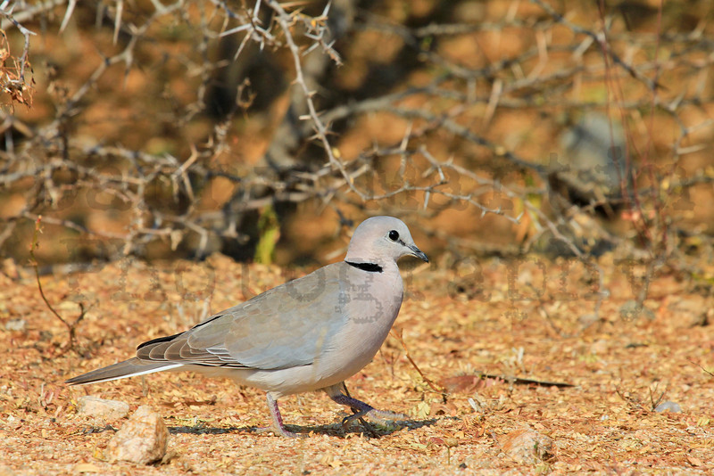 Cape Turtle-Dove (Ring-necked Dove)<br /> Kruger National Park, South Africa