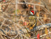 Cardinal Woodpecker<br /> Kruger National Park, South Africa