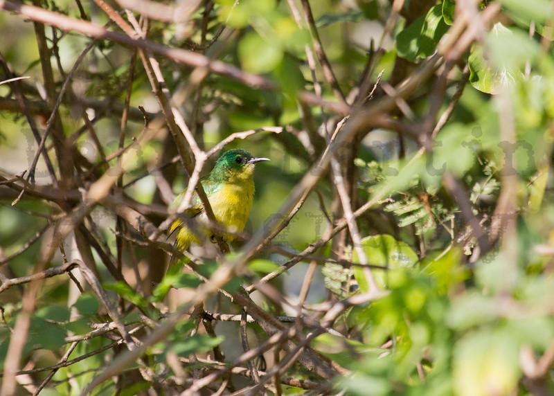 Collared Sunbird (female)<br /> Kruger National Park, South Africa