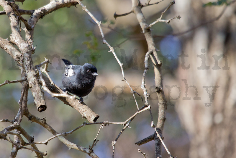 Southern Black Tit<br /> Kruger National Park, South Africa