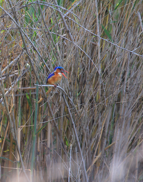 Malachite Kingfisher<br /> Kruger National Park, South Africa