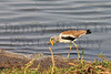 White-crowned Lapwing (Plover)<br /> Kruger National Park, South Africa