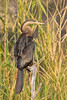 African Darter<br /> Kruger National Park, South Africa