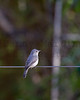 Pale Flycatcher (?)<br /> Kruger National Park, South Africa