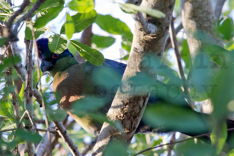 Purple-crested Turaco<br /> Kruger National Park, South Africa