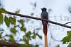 African Paradise Flycatcher<br /> Kruger National Park, South Africa