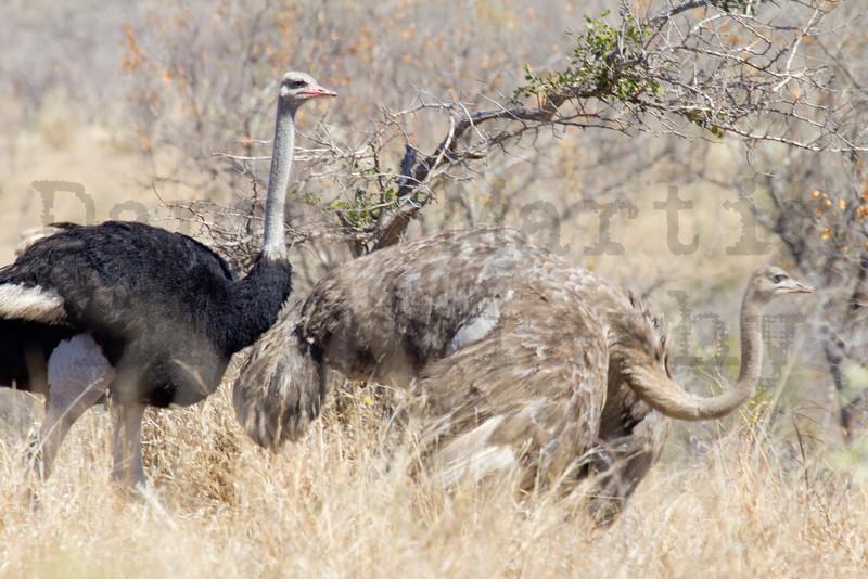 Southern Ostrich<br /> Kruger National Park, South Africa