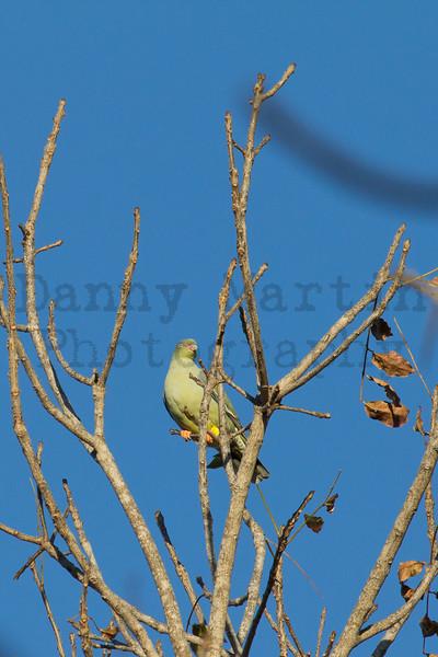 African Green Pigeon<br /> Kruger National Park, South Africa