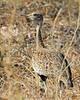 Red-crested Korhaan (Bustard), female<br /> Kruger National Park, South Africa