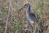 Hadeda Ibis<br /> Kruger National Park, South Africa