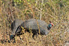 Helmeted Guineafowl<br /> Kruger National Park, South Africa