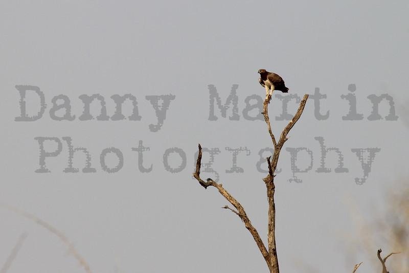 Martial Eagle<br /> Kruger National Park, South Africa
