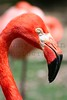 Flamingo<br /> *captive