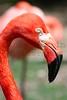 Flamingo<br /> *captive