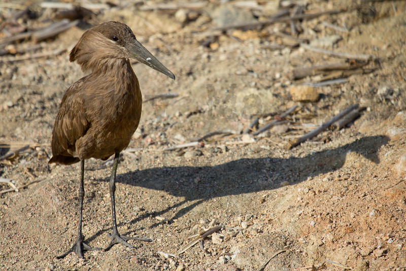 Hammerkop<br /> Kruger National Park, South Africa