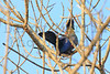 Purple-crested Turaco<br /> Kruger National Park, South Africa