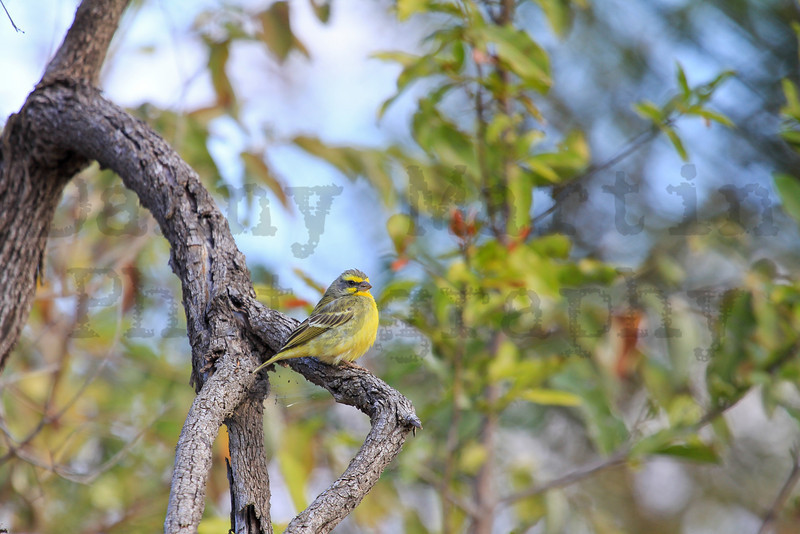 Yellow-fronted Canary<br /> Kruger National Park, South Africa