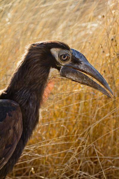 Southern Ground Hornbill<br /> Kruger National Park, South Africa