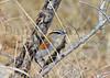 Black-crowned Tchagra<br /> Kruger National Park, South Africa