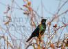 Black-bellied Starling (?)<br /> Kruger National Park, South Africa