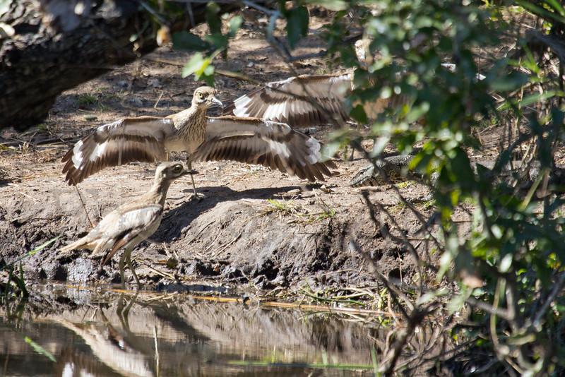 Water Thick-knees (Dikkops) & Nile Monitor<br /> Kruger National Park, South Africa
