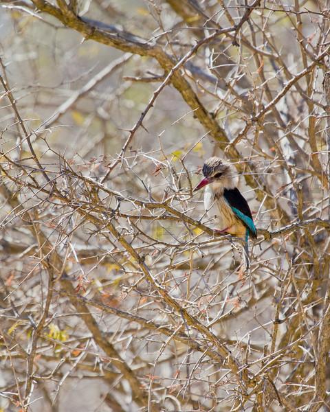Brown-hooded Kingfisher<br /> Kruger National Park, South Africa