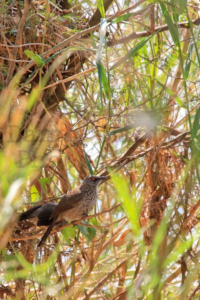 Arrow-marked Babbler<br /> Kruger National Park, South Africa