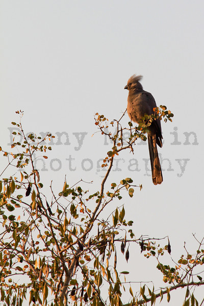 Grey Go-Away-Bird (Grey Lourie)<br /> Kruger National Park, South Africa