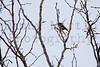 Chinspot Batis (female)<br /> Kruger National Park, South Africa