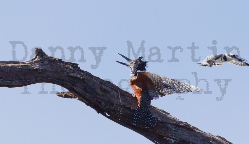 Pied Kingfisher harassing Giant Kingfisher<br /> Kruger National Park, South Africa
