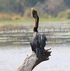 African Darter with prey<br /> Kruger National Park, South Africa