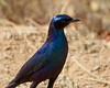 Burchell's Starling<br /> Kruger National Park, South Africa