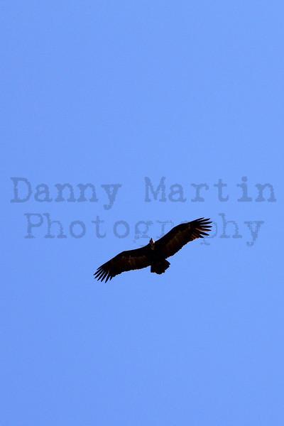 Hooded Vulture in flight<br /> Kruger National Park, South Africa