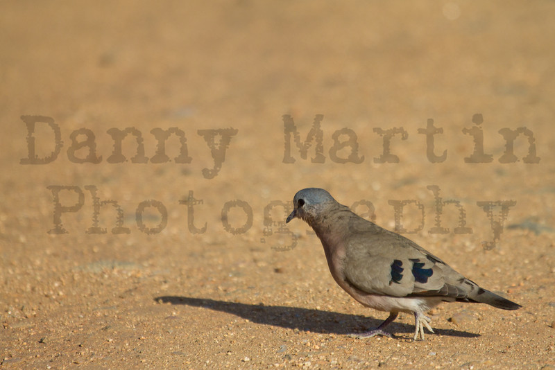 Emerald-spotted Wood Dove<br /> Kruger National Park, South Africa